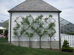 Image result for redbud tree espalier