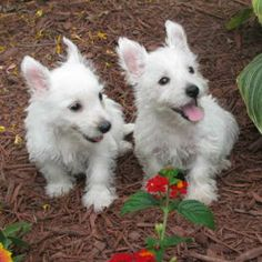 Norman and Nora need forever homes.    http://www.prestonspeaks.com/2012/11/21/westie-wednesdays-norman/  #westie #west highland white terrier #adopt