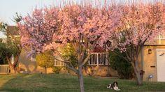 Frontyard trees in full bloom.  By Akila Sivakumar