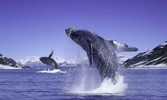 Humpback whales sing for their supper: Researchers find 'tick tock' sound used to lure fish from the bottom of the ocean Bottom Of The Ocean, Under The Ocean, Sea And Ocean, Planet Ocean, Ocean Life, Beautiful Ocean, Beautiful Birds, Whale Song, Water Animals