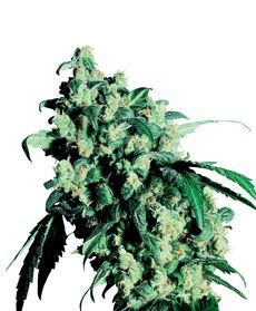 Super Skunk® Seeds