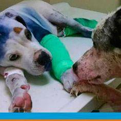 Otra vez, los perros nos enseñan sobre ese tipo de amor que tanto escasea. Conoce esta inspiradora historia sobre cómo dos perros maltratados se convierten en amigos mientras esperan su recuperación.http://bit.ly/2aUQYzi #Cvp  #ServiciosCVP  #Mascotas #CVP #PetLovers #Pets #Perros #Gatos #Dogs #Cats #Mascotagram #Petstagram #PetShop #DogLovers #CatLovers #NoAlMaltratoAnimal #LovePets #Instapet #ILoveMyPet #DogLife #Veterinaria