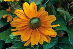 These bold blooms make a big impact! When you grow AAS Winner Rudbeckia Amarillo Gold this year, you can expect large, 4 to 6 inch, bright yellow blooms with green centers that blanket the compact bushy plants from spring right through fall. Grows 12 to 18 inches tall, a size perfect for both containers and landscapes. Bright Yellow, Container Gardening, Compact, The Selection, Landscapes, Challenge, Bloom, Gardens, America