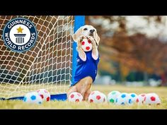 A Beagle named Purin broke the Guinness World Record for most balls caught by a dog with the front paws in under a minute. Beagle Names, Guinness World, Guinness Book, Record Guinness, Tiny Puppies, Puppy Play, World Records, Funny Photos, Best Dogs