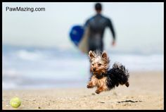 I know I can get the ball!  these litte yorkies are so full of life!!love 'em!
