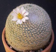 Mammillaria lenta