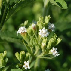 Stevia is a great alternative to high-caloric sweeteners.