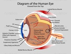 Structure Of Human Eye With Diagram 2008 Gmc Canyon Radio Wiring 121 Best Anatomy Images Eyeball Eyes Labeled Labelled