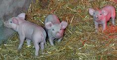 https://flic.kr/p/t1DiAA | For the love of baby piggies