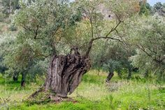 Free Image on Pixabay - Olive Tree, Tree, Olive Grove Free Pictures, Free Images, Olive Oil Image, Centenario, Olive Tree, Tree Of Life, High Quality Images, Natural, Landscape Design