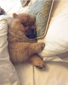 Sweet dreams chow chow