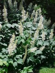 Aesculus parviflora - Plant Finder