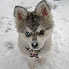 Alaskin Klee Kai - Matt is defiantly getting me one of these <3