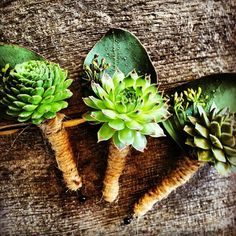 The groomsmen will be wearing these succulent boutonierre's at today's wedding at Ten Mile Station in Breckenridge.