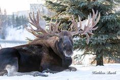 Gigantic bull, phenomenal antlers