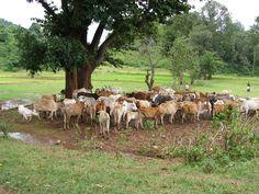 Rebaño de vacas en Odisha // Foto: Esther Cubel