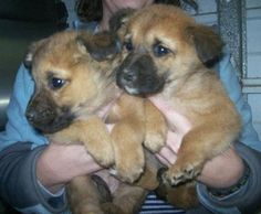 """**VERY URGENT** LUCY'S OTHER 2 BABIES! AWWW! BUT, THEY WILL BE KILLED JAN 24, 2013 / THURSDAY IF NOT ADOPTED/ RESCUED OR FOSTERED! PLEASE SHARE LIKE CRAZY! DON'T FORGET TO SHARE MOMA """"LUCY"""" TOO..RESCUES: email twhrarescueoffers@gmail.com  SPONSORS: email twhrasponsorships@gmail.com  ADOPTERS: Call the Estill County Shelter at (606) 723-3587 ***THANK YOU VERY MUCH FOR YOUR CONCERN AND HELP, DANA"""