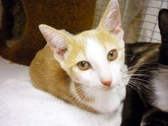 """Brownie"" Needs a good home!  www.CatsExclusive.org  Fixed, vaccinated, negative for FIV/FeLV/HW, de-wormed, de-fleaed."