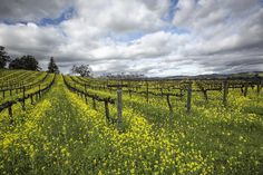 Promise.....this will NOT be the last last mustard shot of the season! (Couldn't help myself had to post another one....it was just too pretty! Good night from Wine Country!  #artsyheaven #flowers_magazine #bellashots #bayareabuzz #best_skyshots #caliexplored #california4fun #country_features #donapa #dream_image #discoveramerica #ebs_fullframe #explorehisearth #fpog #foodandwine #farmsofinstagram #heart_imprint #igmasters #igs_newtag #jj_editors #loves_landscape #magicpict #naturehippys…