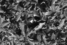 0394 by ~j-staff-art on deviantART Raccoons, Deviantart, Dogs, Animals, Animales, Animaux, Doggies, Animais, Dog