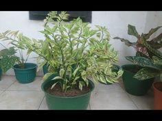 Memindahkan Tanaman Zigzag Devils Blackbone Ke Pot Yang Lebih Cantik Youtube In 2021 Plants Pot Zig Zag