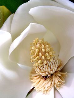 Southern Magnolia - such intricate details!