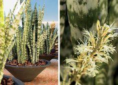 As folhas rajadas desta espécie entraram nos jardins brasileiros pelas mãos de Burle Marx. Africana de origem, a espada-de-são-jorge foi adotada primeiro pelos modernistas, mas hoje cabe em qualquer estilo e lugar. É a flexibilidade em forma de planta, que, reza a lenda, ainda traz proteção