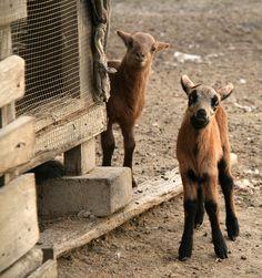 Lambs (2 days old) Guyana