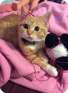 Cannelton, IN - Domestic Shorthair. Meet Jazz, a kitten for adoption. http://www.adoptapet.com/pet/12160356-cannelton-indiana-kitten