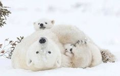 Motherhood - Polar Bear (Ursus maritimus) mother with cubs Wapusk National Park - Manitoba - Canada - Daisy Gilardini Photography Photo Ours, Kind Photo, Bear Pictures, Cute Animal Pictures, Happy Pictures, Cute Baby Animals, Animals And Pets, Wild Animals, Bear Cubs