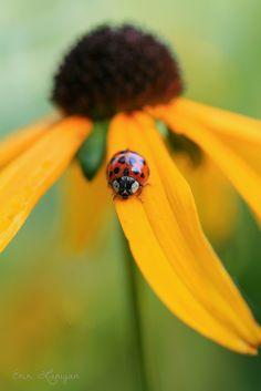 Ladybug on a Blackeyed Susan by erin lanigan°°