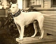 Vintage Image of Beautiful White Pit Bull by Tails of the Past Nanny Dog, Pitbull Pictures, American Pitbull, Pit Bull Love, Vintage Dog, Pitbull Terrier, Bull Terriers, Pit Bulls, Dog Photos