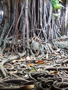 Banyan Drop Roots Enveloping an Old Stone Wall, Oahu, Hawaii