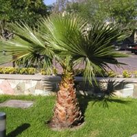 Vijver en Tuincentrum Pelckmans: Washingtonia robusta