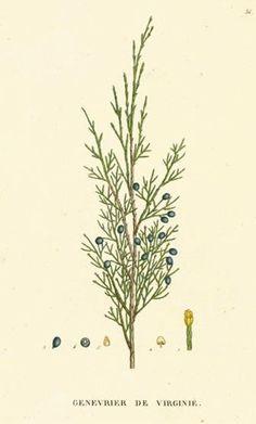 Botanical illustration Juniperus virginiana.