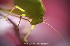 "Insect - Sauterelle feuille dite ""hivernage"" - St-Barth - FWI - © Tony Duarte"