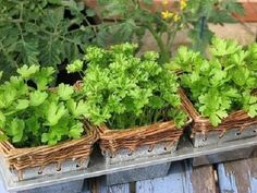 you can create an herbal garden in small places to use in your everyday cooking! of direct sunlight and regular watering week) needed Como Plantar Salsa, Diy Horta, Herb Recipes, Healing Herbs, Garden Care, Growing Herbs, Garden Gifts, Garden Spaces, Diy Projects To Try