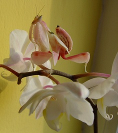 Orchid Mantis  on her orchid!