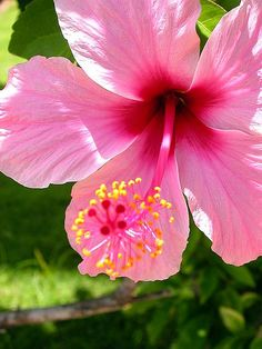 Pink Hibiscus - beautiful