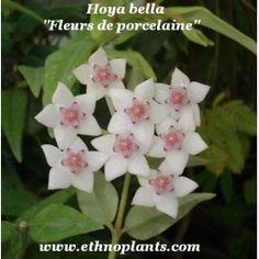 Hoya bella FLEUR DE PORCELAINE (plante)