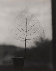 Olive Cotton Australia 1911-2003 Skeleton Leaf 1964 Gelatin silver photograph