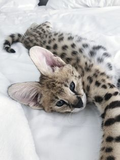 Cute Kittens, Puppies And Kitties, Cute Baby Cats, Cute Baby Animals, Animals And Pets, Cats And Kittens, Pretty Cats, Beautiful Cats, Cat Has Fleas