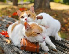 """""""Still we were travelling."""" Nyaran said. Japanese Bobtail, Japanese Cat, Kittens And Puppies, Cats And Kittens, I Love Cats, Cool Cats, Cute Baby Animals, Animals And Pets, Bobtail Cat"""
