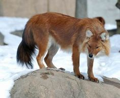 """The Dhole!   The perfect blend between a fox and a wolf!!  Also called the """"Indian Wild Dog"""" these canids are native to South and Southeast Asia.  They live in clans and behave much like African Wild Dogs (both of which are less territorial than Wolves)."""