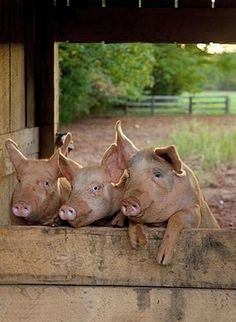 Country Living . ..3 little pigs ~ LOL!