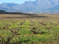 Wine and livestock guest farm for sale around Wellington in the Cape Winelands, Western Cape South Africa. This wine estate is just outside Paar. Crop Field, Livestock, Cape Town, Nice View, Homesteading, South Africa, Fields, Vineyard, In This Moment