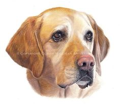 Scanned version of 'Nessa'. I have more labs booked in over the coming weeks which I am already really excited about. Welcome to share :) #dog #dogs #dogart #dogartist #artist #pencil #colouredpencil #petdrawing #petportrait #lab #labrador #goldenlab #petportraitartist