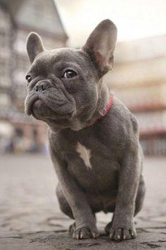 Blue French Bulldog Grey French Bulldog French Bulldog French