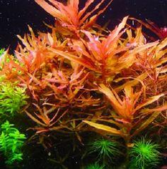 "Ammania senegalensis ""red"""