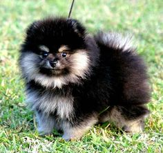 pomeranian puppies black and tan Cute Baby Dogs, Cute Dogs And Puppies, Cute Baby Animals, I Love Dogs, Animals And Pets, Doggies, Spitz Pomeranian, Black Pomeranian, Cute Pomeranian